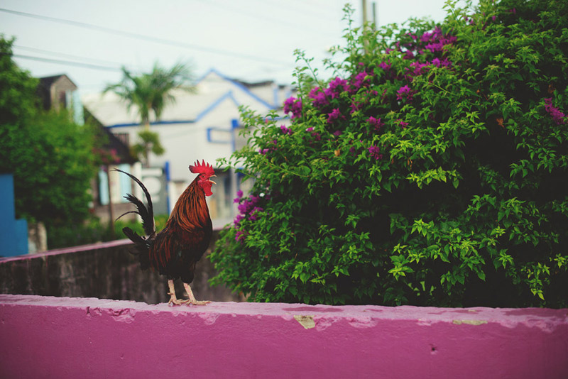 harbour island bahamas wedding: crowing rooster