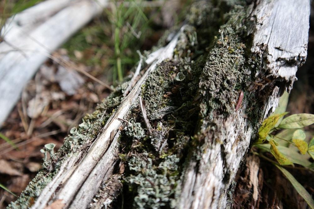 Pixie cup lichens.
