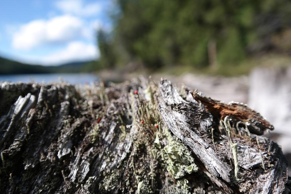 Tiny british soldier lichens.