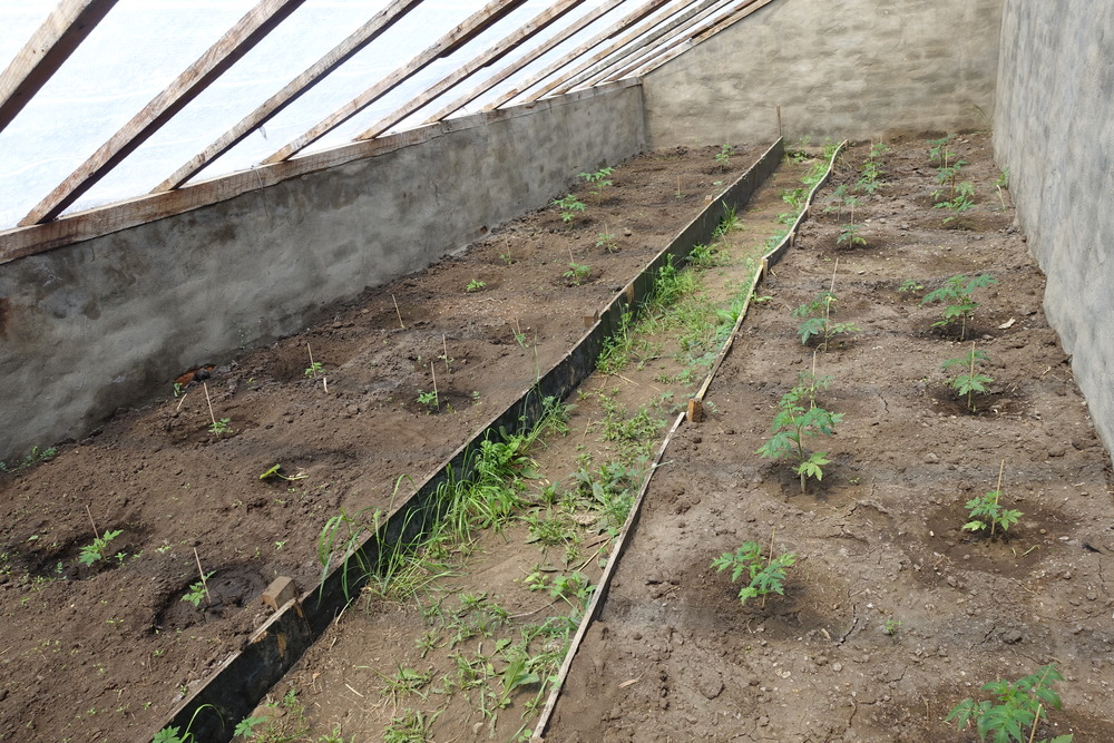 30 tomato patches in the newly renovated greenhouse