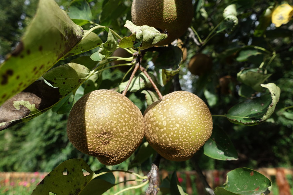 Chinese pears growing in the garden