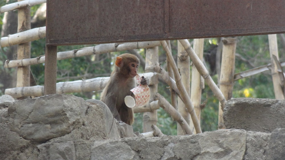 A young macaque playing with a styrofoam cup.