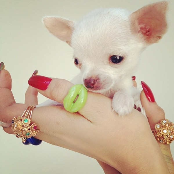 Chihuahua pup with outfit by Rochas and jewellery by Solange Azagury Partridge