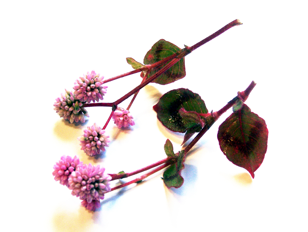 Polygonum pink clover05.jpg