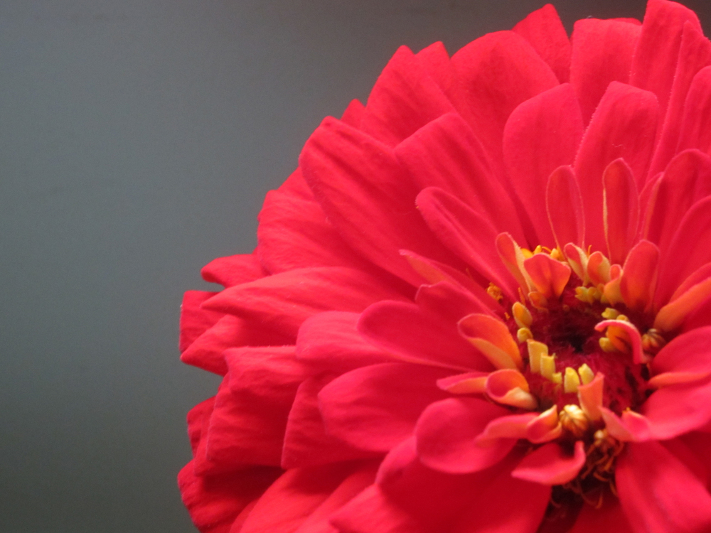 Red Zinnia on Slate (Website folder)