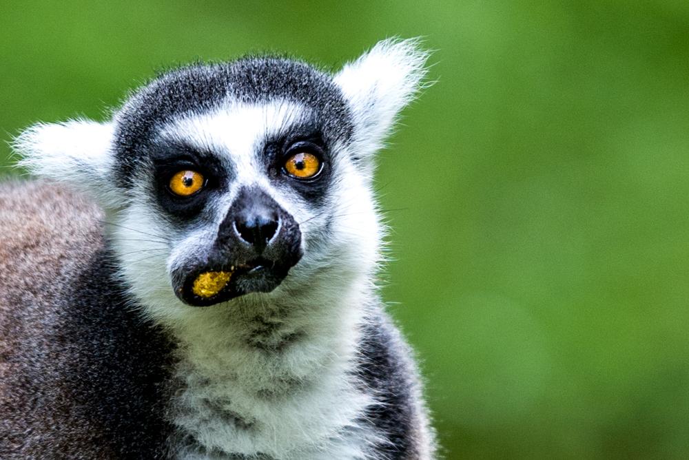 lemur-6151.jpg