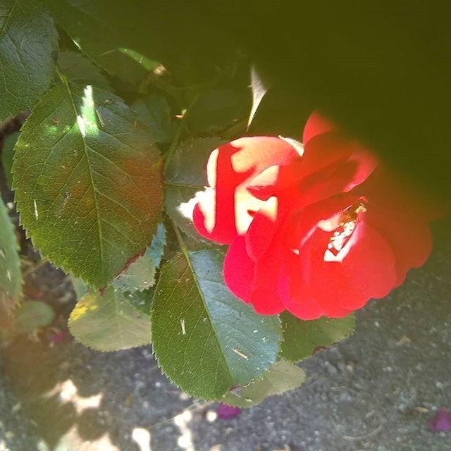 this rose was hidden