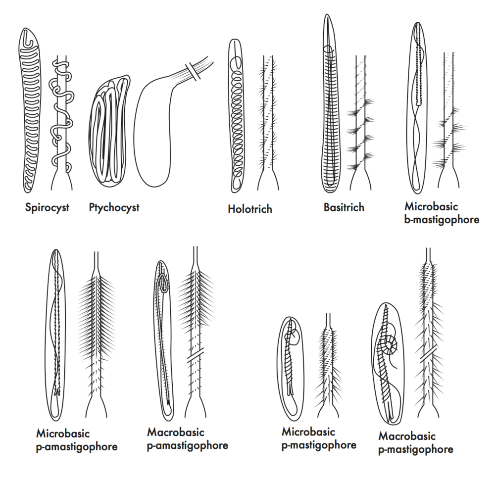 Sea Anemone Nematocyst Types