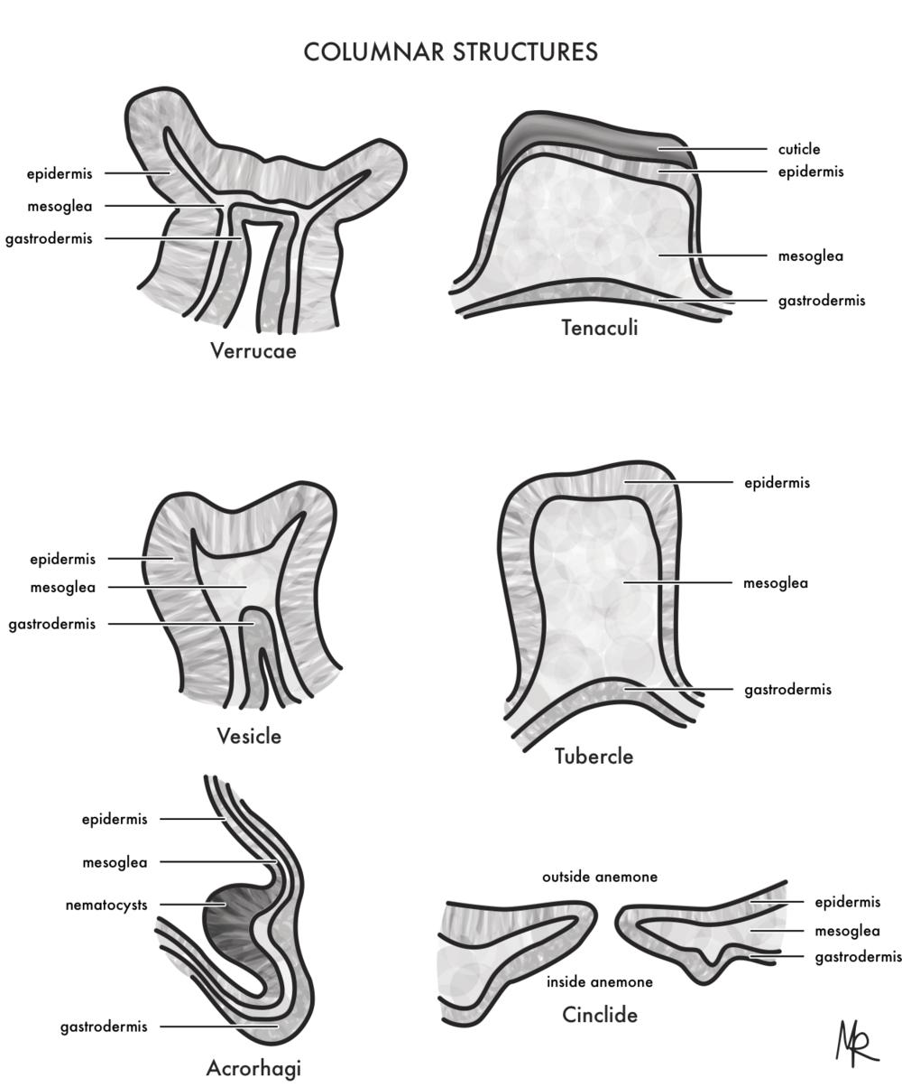 Sea Anemone Columnar Structures