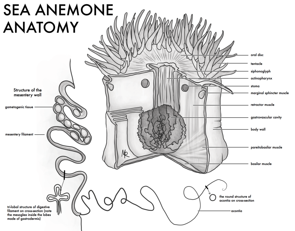 Sea Anemone Anatomy Cut-Away