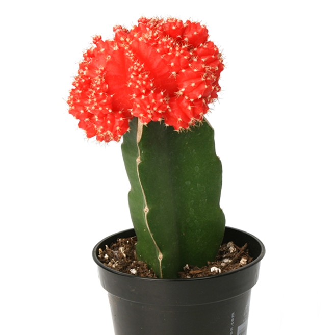 Gymnocalycium-mihanovichii-Hibotan-Red-Moon-Cactus.jpg