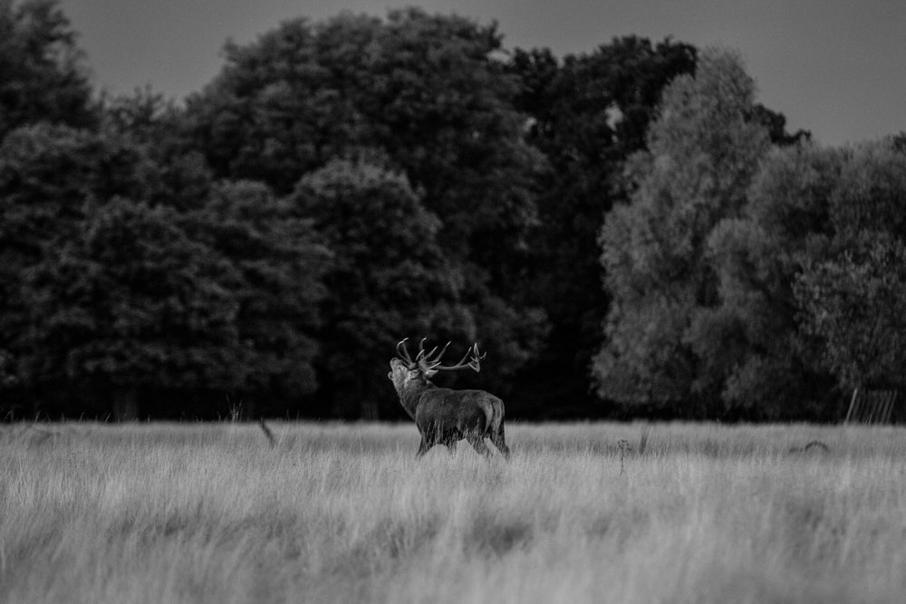 Rutting Stag, Richmond Park