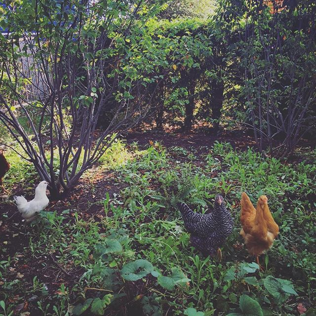 City living  #chickens #citylife #urbanfarm #middleouest #midwest #logansquare