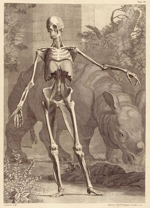 Bernhard Siegfried Albinus, Clara the Rhino and a human skeleton, engraving from  Tabuloae sceleti et musculorum corporis humani , 1747.