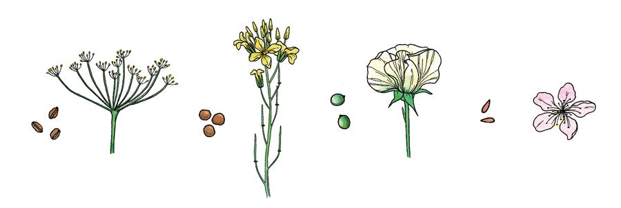 De gauche à droite, semences et fleurs de panais, rutabaga, pois et pomme