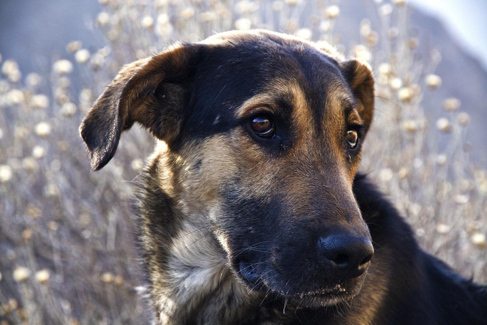 Colca Dog.jpg