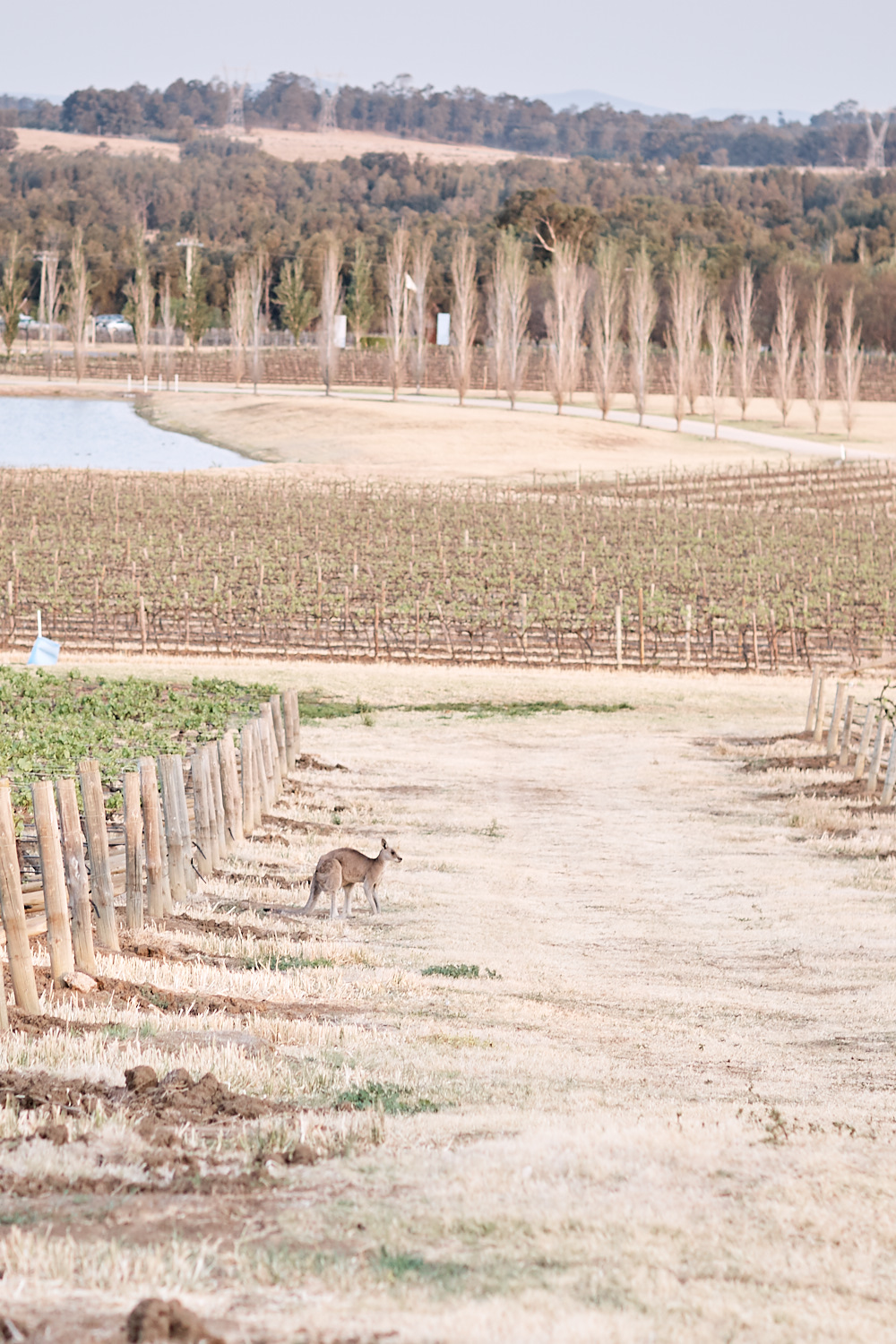 Kangaroo in Vineyard at Estate Tuscany Pokolbin in the Hunter Valley by wedding photographer Joshua Witheford