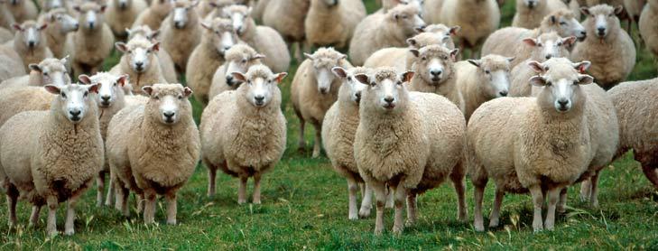 Farmed Sheep.jpg