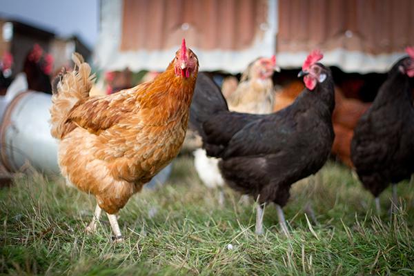 Farmed chicken.jpg