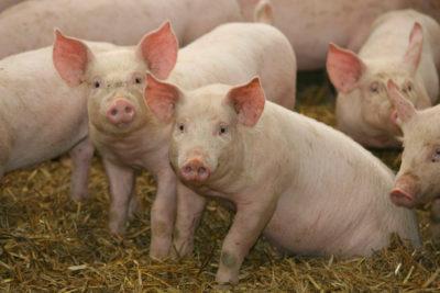 farms pigs.jpg