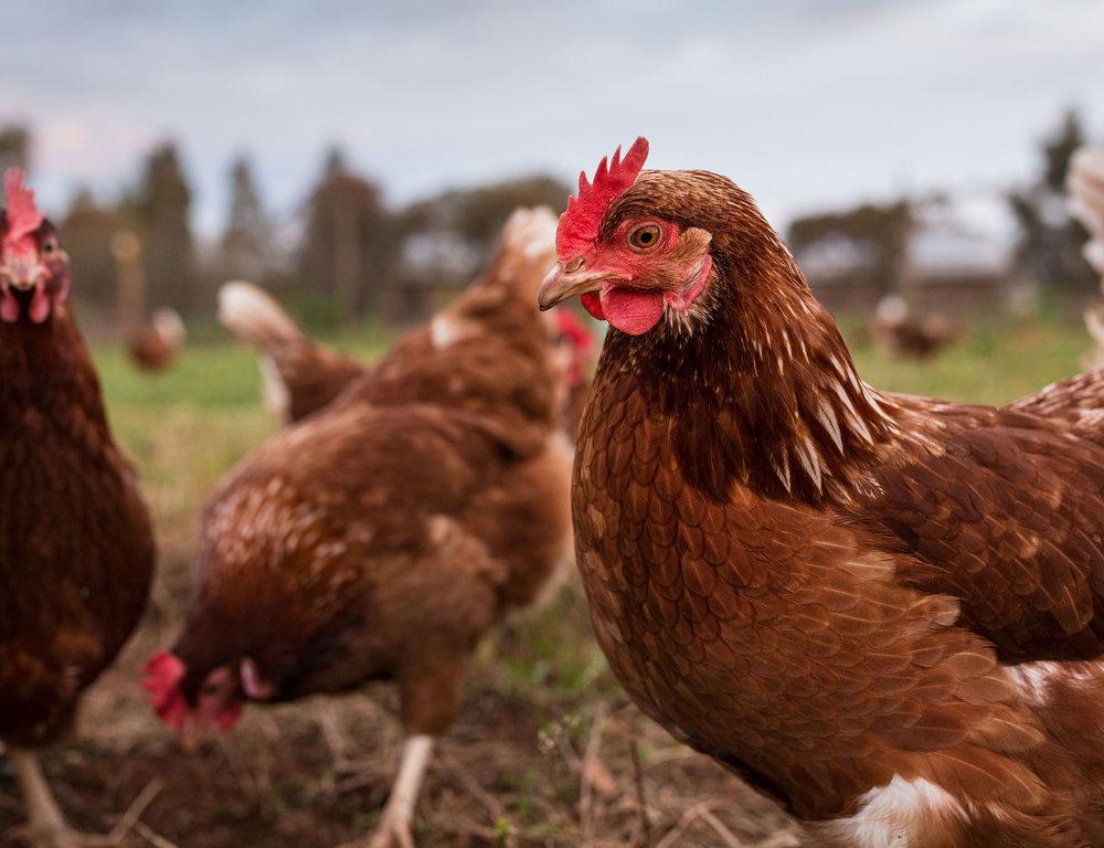 farmed chickens.jpg