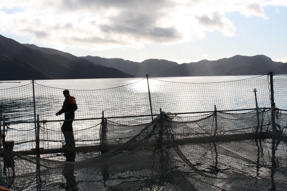Salmon farm in the Marlborough Sounds