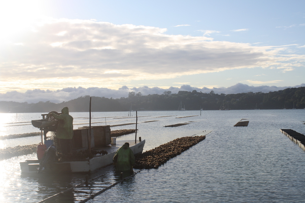 Early morning harvest at Mahurangi Oysters
