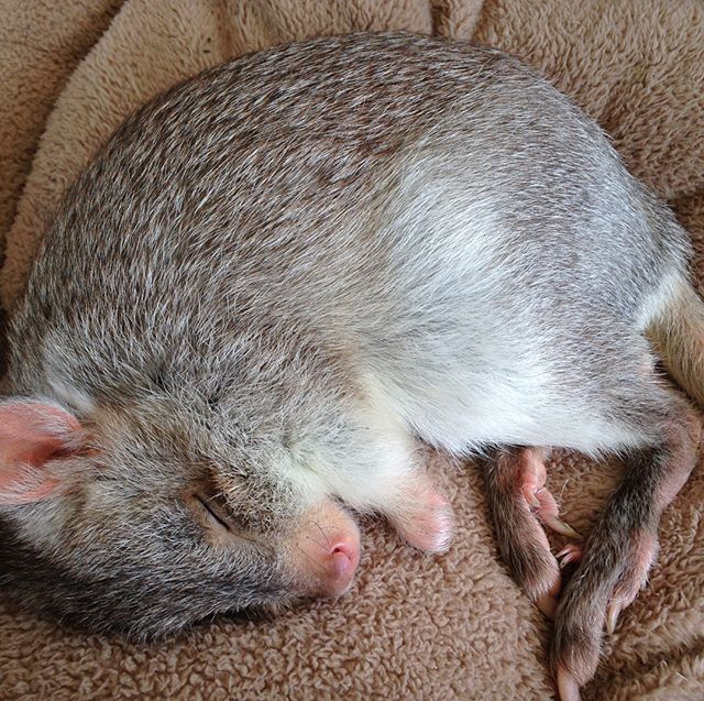 This little fella is 'Boo' not very scary though. He is spending time with us in our marquee at #KaroondaFarmFair. He is a Rufous bettong and definately not flat out like a lizard drinking. Being nocturnal he is having a nap. Too cute not to share!