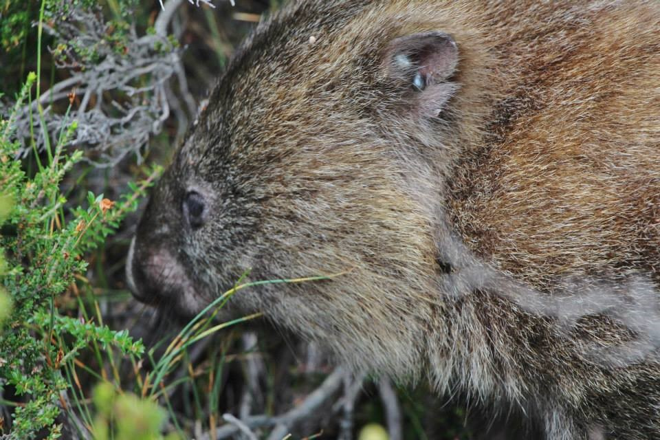Wombat, Cradle Mountain - Tasmania