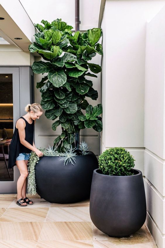 this ficus is the best way to bring the garden into your house, its almost a tree and is lush green at it, if we let it grow tall.