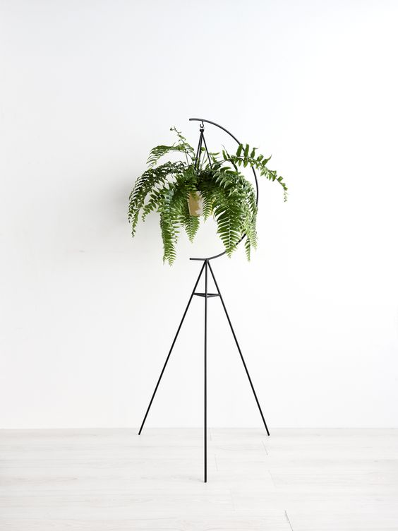 Boston Fern Plant (Nephrolepis exaltata), is native to tropical regions throughout the world. This has gracefully arching fronds portrays a great aesthetic value to the room. This can grow 3-6 feet tall with alternate leaflets on either sides, each of which can be 2-8 cms long.