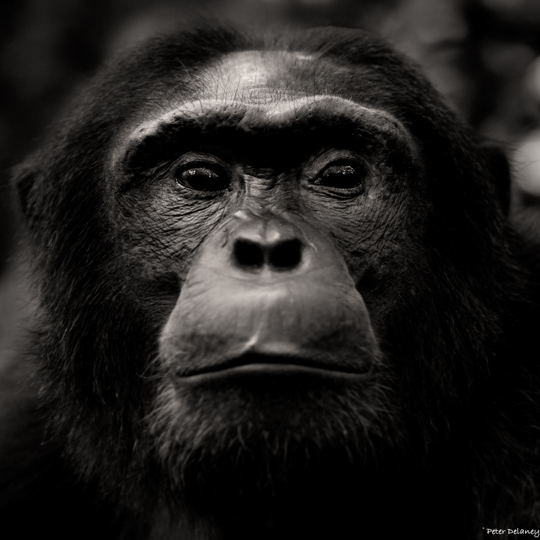 chibale-chimps-07.jpg