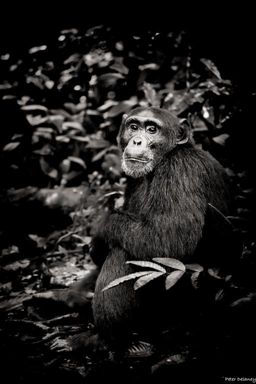 chibale-chimps-18.jpg