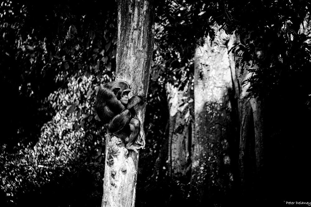 chibale-chimps-09.jpg