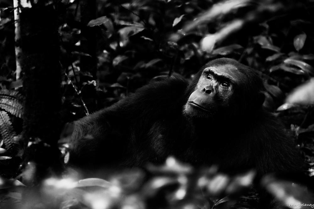 chibale-chimps-12.jpg