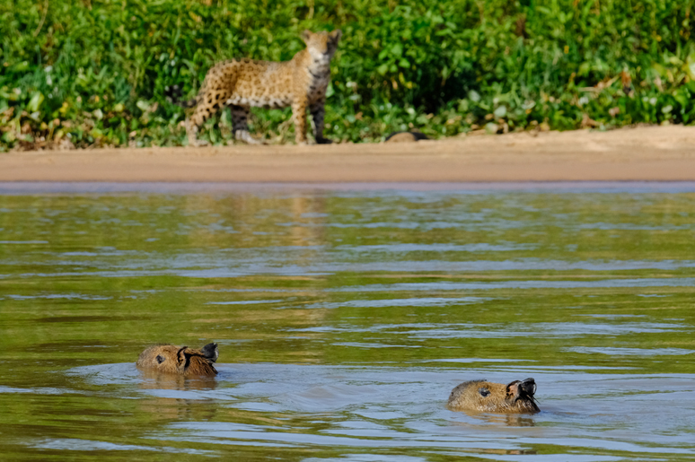 Having escaped the charge of the Jaguar, the capubaras remain in the safety of the river.jpg