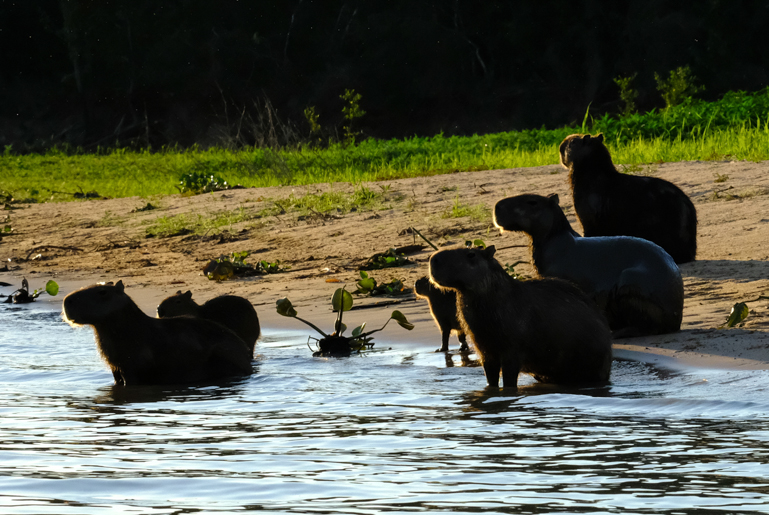 Capibara Family in evening sun.jpg