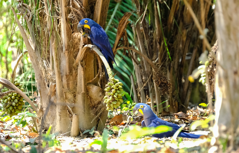 Blue-purple macaw (Anodorhynchus hyacinthinus) feasting on dwarf coconuts.jpg