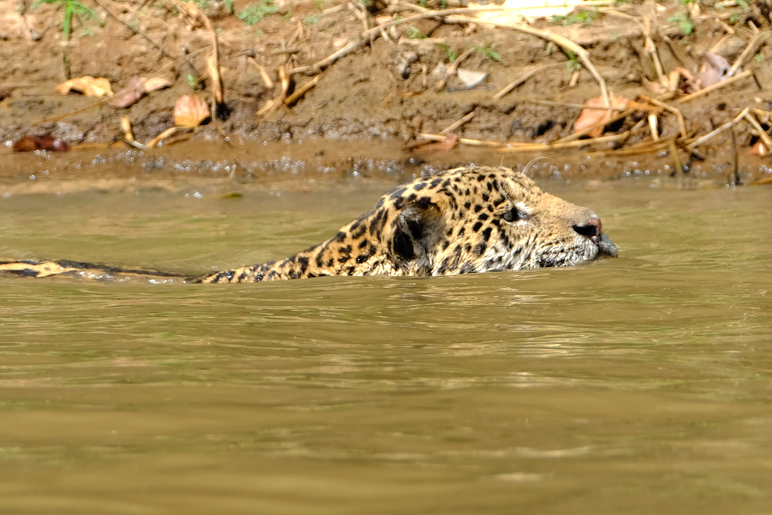 Jaguar swimming hunting caiman.jpg
