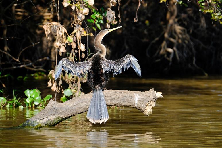 Snakebird (Anhinga Anhinga).jpg