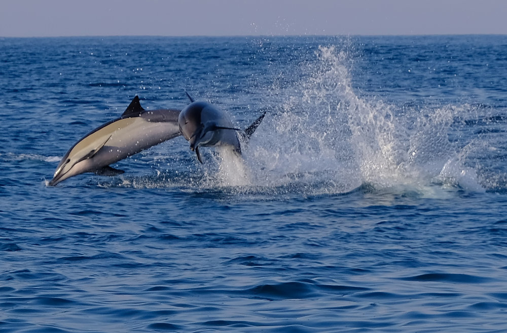 Common Dolphin .jpg