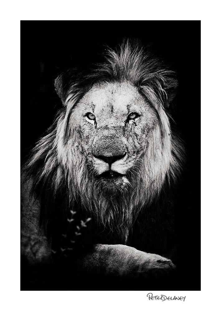 Kalahari+Black-maned+lion.jpg