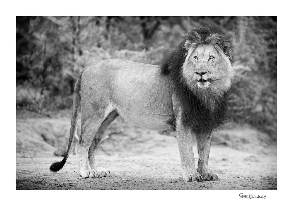 Kalahari+Black+maned+Lion+Stance.jpg