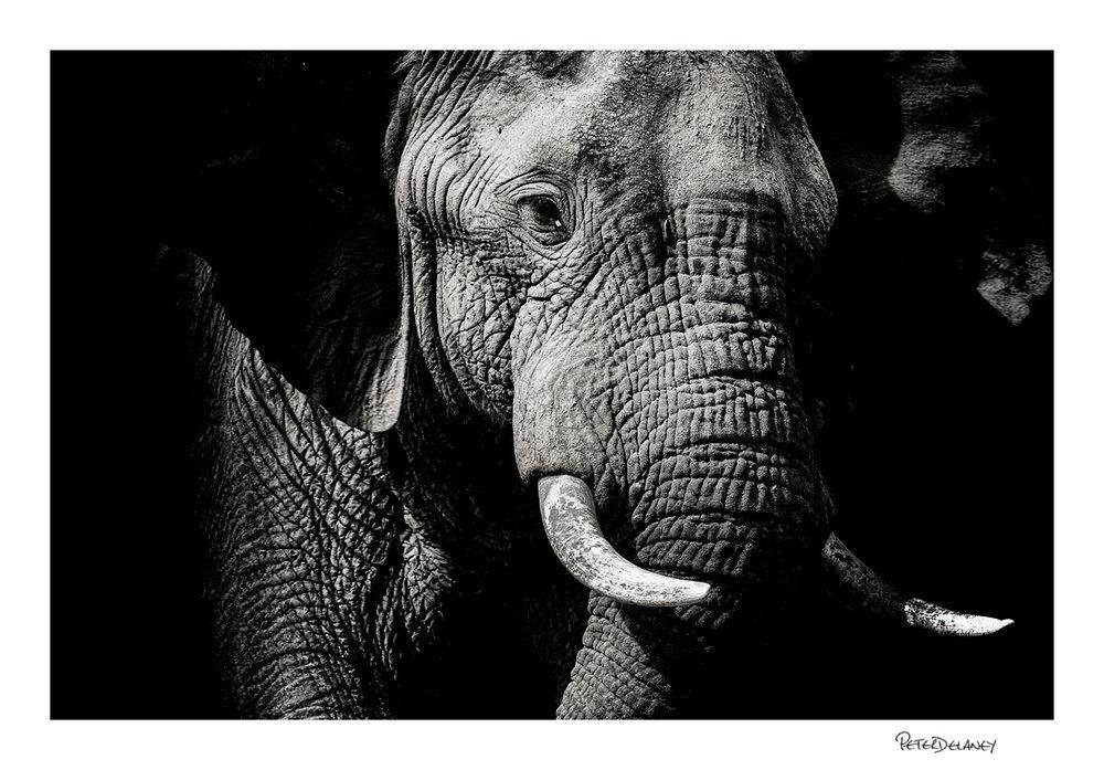 Elephant+Portrait.jpg