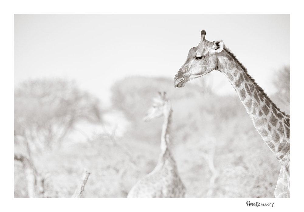 Giraffe+Bokeh.jpg
