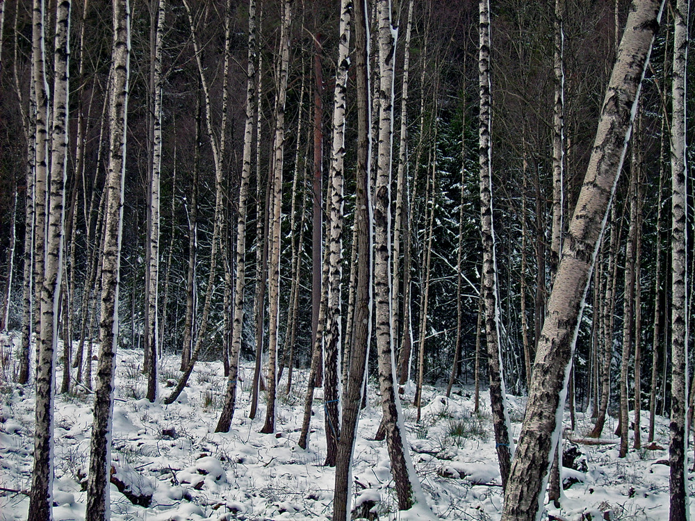 Birch forest Babaruna.jpg