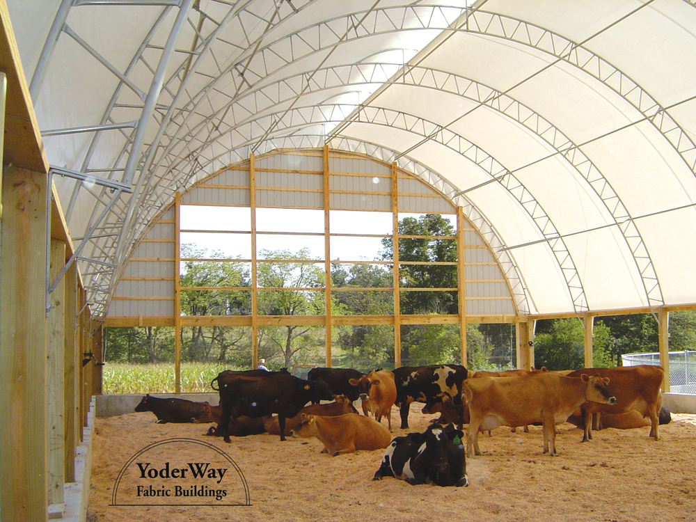 Cattle in a fabric building with natural light