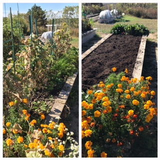 BEFORE and AFTER pics!  Each of the beds needs to be cleared of all the dead plant debris and prepared for our fall planting of garlic.  I am adding 3 inches of mushroom compost to each bed.  Couldn't bring myself to rip out the blooms just yet....but when we plant the garlic, we'll switch out the marigolds for some bulbs that will bloom in the spring!