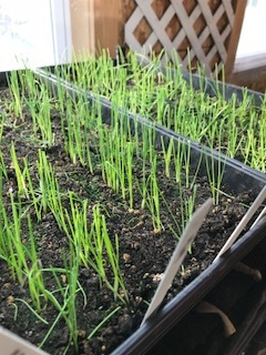 These trays of onions and leeks look right on schedule.  If the weather cooperates, they'll go in the ground the first week of April.