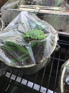 "My little friend (a Cope's Gray Treefrog or  Hyla chrysoscelis)  has not been seen since July…when I hung that impressive snakeskin on the bulletin board in the greenhouse. And I've missed him!  But yesterday after taking lavender cuttings ,in an effort to ""make more plants"" (thank you Ken Druse!) I found him perched on top of the saran wrap keeping my new cuttings moist.  Welcome back!"